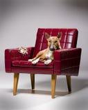 Tearing het leerleunstoel van de hond. Royalty-vrije Stock Foto's