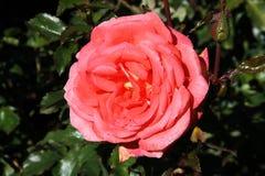 Tearose hybrid cultivar. Christchurch Botanic Gardens (New Zealand). Susan Devoy cultivar, hybrid tea rose (Waiheke x Las Vegas Royalty Free Stock Images