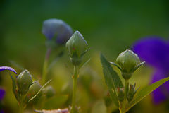 Tears on Flowers. Early Morning Dewed Blue Flowers Stock Images