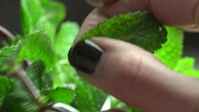 Tears a sheet of fresh mint stock footage