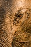 Appeal of the Nature. Tears of wild elephants eye , an appeal for life by endangered wild elephants of srilanka Royalty Free Stock Image