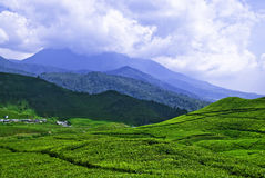 Teas Plantation #1. It\'s about 90km from Jakarta up to the hill, Puncak West-Java teas plantation area. The nearest road to Bandung just shown in the left Royalty Free Stock Photos
