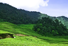 Teas Plantation #2 Royalty Free Stock Images