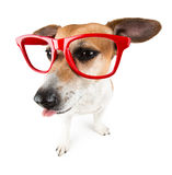 Teased Dog showing tongue Royalty Free Stock Photos