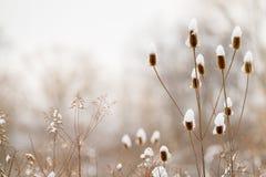 Teasel μίσχοι στο λιβάδι που καλύπτεται με το χιόνι το χειμώνα Στοκ Εικόνα