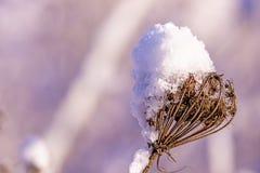 Teasel με το χιόνι ΚΑΠ Στοκ φωτογραφία με δικαίωμα ελεύθερης χρήσης
