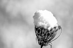 Teasel με το χιόνι ΚΑΠ Στοκ Εικόνες