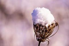 Teasel με το χιόνι ΚΑΠ Στοκ Φωτογραφία