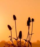 Teasel στο πρώτο φως του ήλιου στοκ εικόνες
