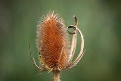 teasel φυτών Στοκ Εικόνα