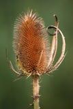 teasel φυτών Στοκ φωτογραφία με δικαίωμα ελεύθερης χρήσης