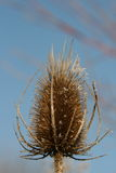 Teasel Royalty Free Stock Photo