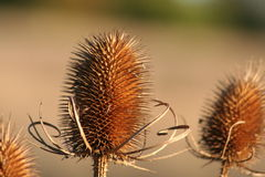 Teasel. Macro of a dried teasel seed head stock images