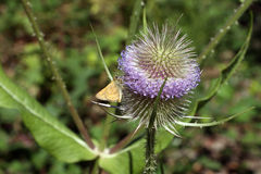 Free Teasel Royalty Free Stock Images - 78958379