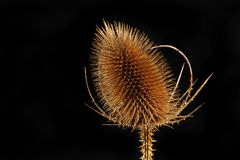 Teasel against black. Closeup of a teasel isolated against black royalty free stock images