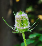 Teasel in bloom Royalty Free Stock Photography