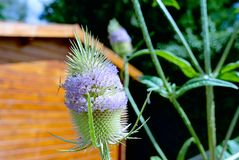 Teasel in bloom Royalty Free Stock Image