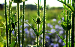 Teasel bud and stems Stock Photography