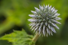 Teasel close-up Royalty Free Stock Photos