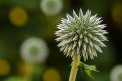Teasel close-up Stock Images