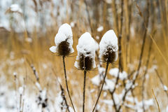 Teasel covered with snow Stock Photos