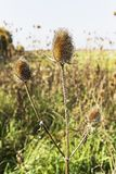 Teasel, Dipsacus fullonum, growig dziki w Northumberland UK obrazy royalty free