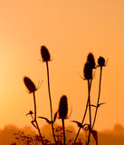Teasel in the first sunlight. Stock Photo