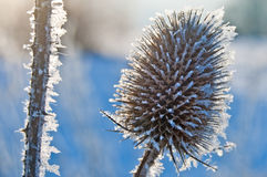 Teasel on frost Royalty Free Stock Image