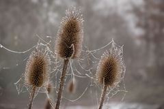 Teasel fullonum Dipsacus, τρία ξηρά κεφάλια λουλουδιών με το παγωμένο s Στοκ εικόνα με δικαίωμα ελεύθερης χρήσης