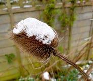 Teasel głowa z śniegiem na wierzchołku Zdjęcia Stock