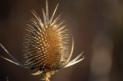 Teasel head in fall Stock Photography