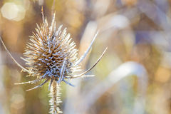 Teasel with ice crystals Stock Image