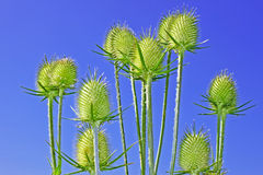 Teasel inflorescences Stock Photography