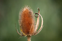 Teasel plant Stock Image