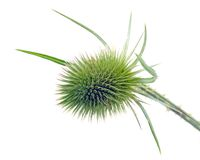 Teasel Stock Photos