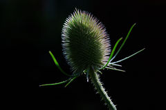 Teasel. A single teasel looking bare and exposed Royalty Free Stock Photos