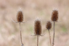 Teasel Troop Stock Photo