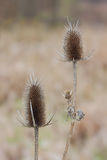Teasel Royalty Free Stock Image