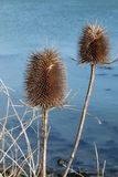Teasel in Winter stock images