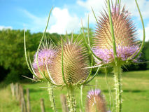 Teasels dipsacus fullonum detail Stock Photo