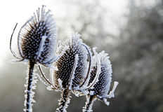 Teasels and Frost Stock Photos