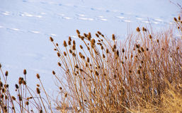 Teasels Reach Out Across a Frozen Lake Stock Image