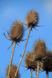 Teasels Royalty Free Stock Photos