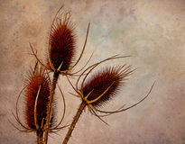 Teasels with texture and copy space Royalty Free Stock Photo
