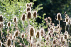 Teasels Royalty Free Stock Image