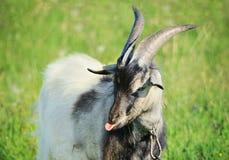 Teasing goat Royalty Free Stock Photos