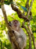 Teasing monkey with its tongue stuck out. Teasing grimacing making faces monkey with its tongue stuck out royalty free stock images