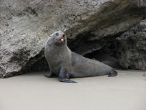 Teasing seal. Royalty Free Stock Image
