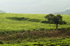 Teatrees in Oeganda royalty-vrije stock afbeeldingen