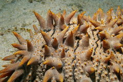 Teats of pineapple sea cucumber Thelenota ananas Stock Photo